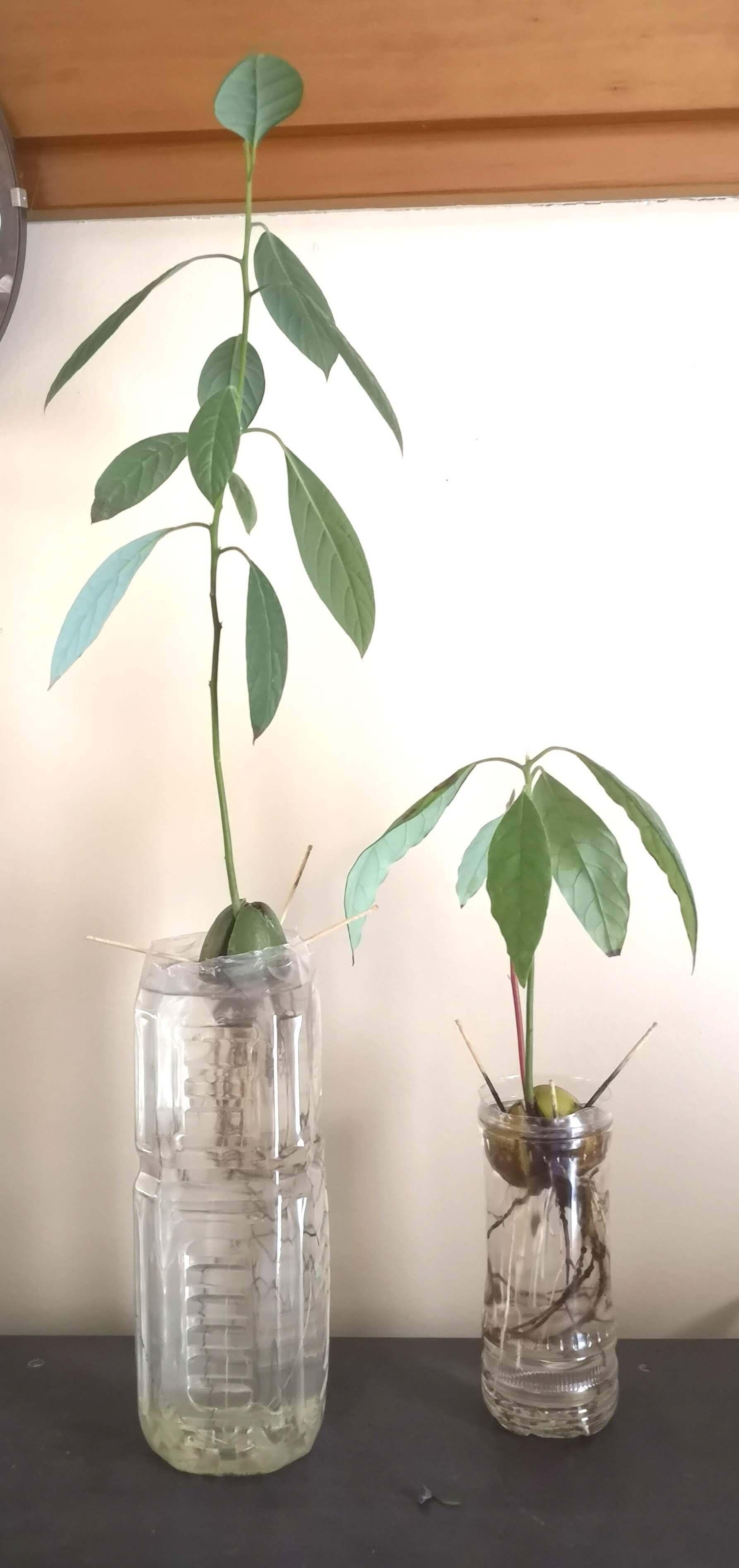 水栽培 種 アボカド の