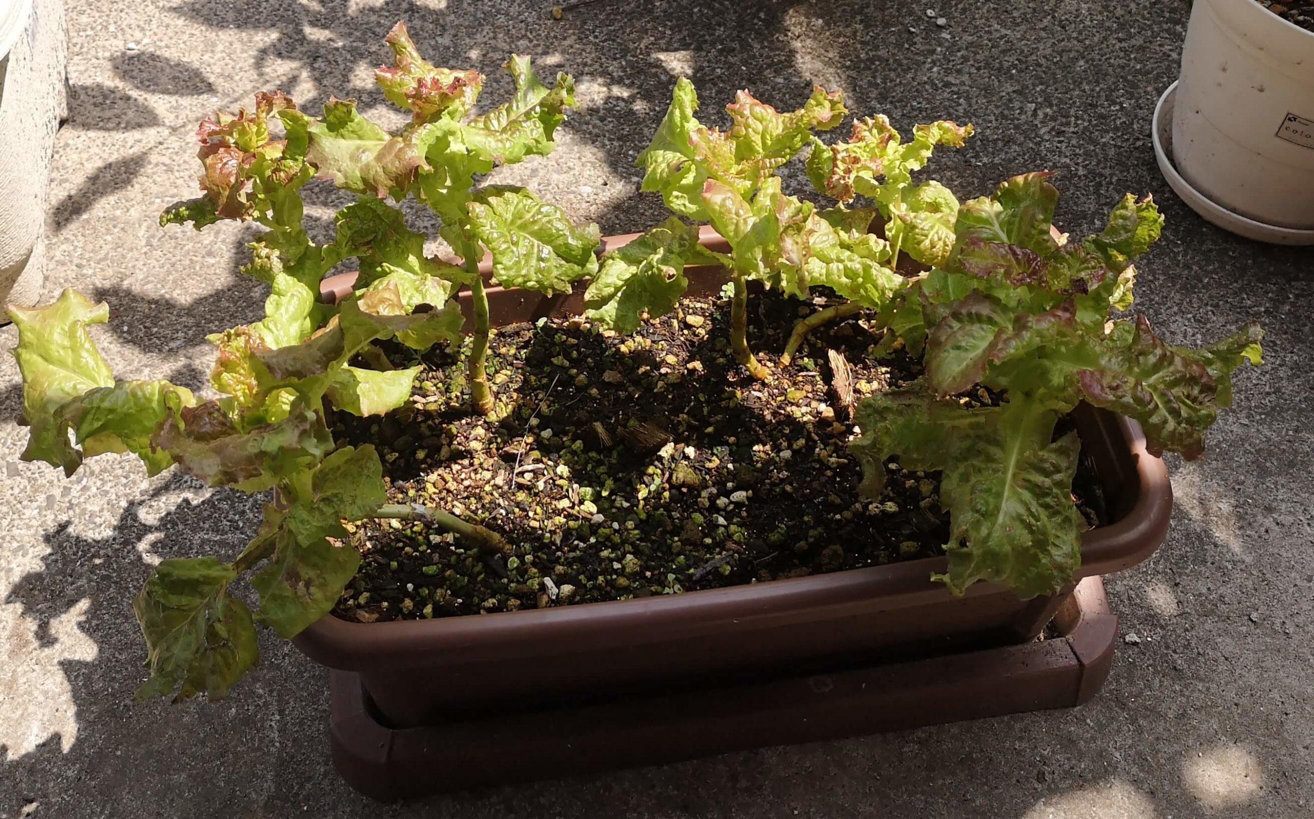 梅雨入り後で葉っぱは大きくならず根元が伸びるサニーレタス