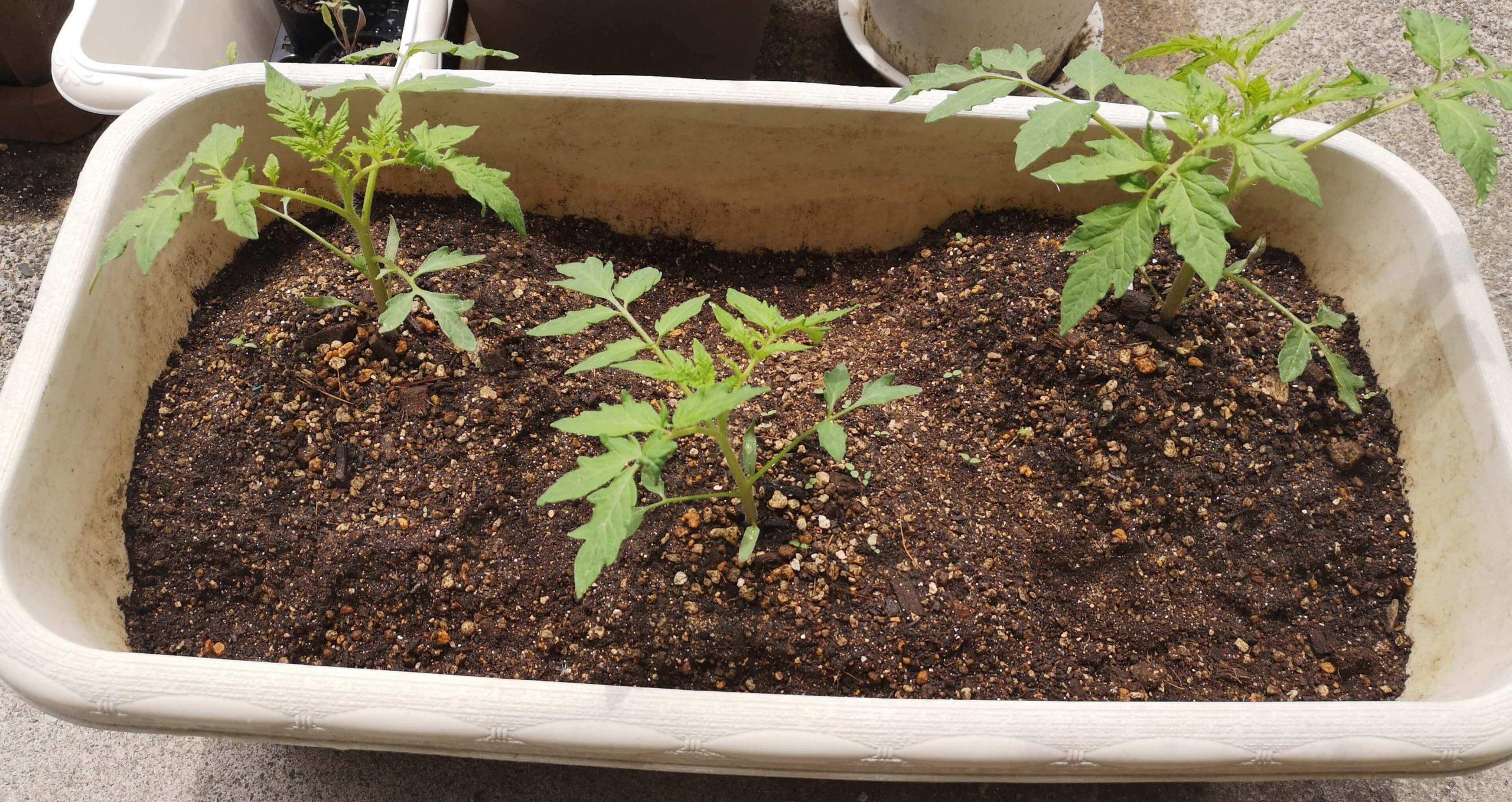 3本のトマトは追肥してからも成長中。少し雑草の芽が出てくる