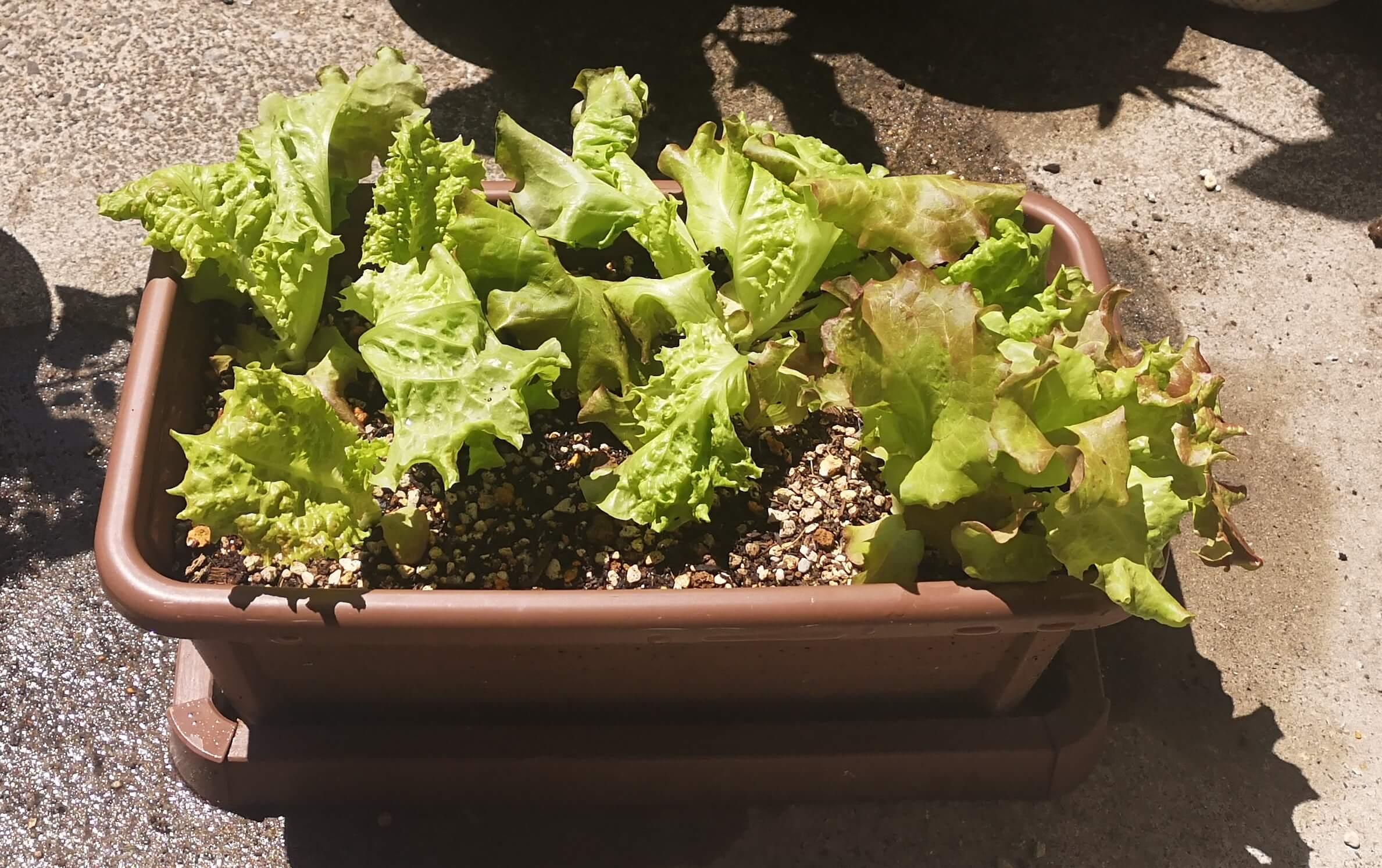 はじめて収穫後のサニーレタスはかき取って少し残しておいた