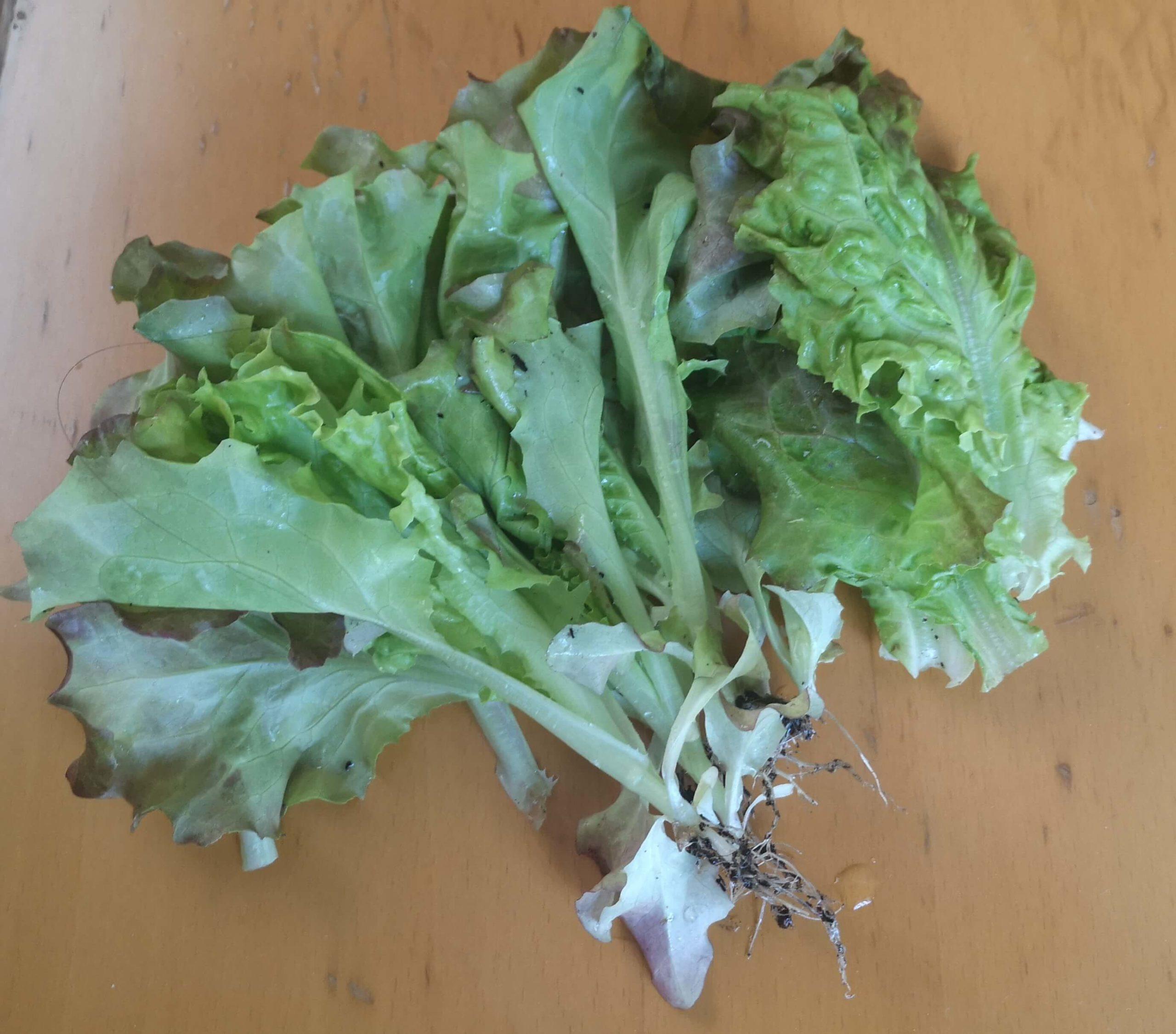 収穫したサニーレタスは葉っぱ15枚分