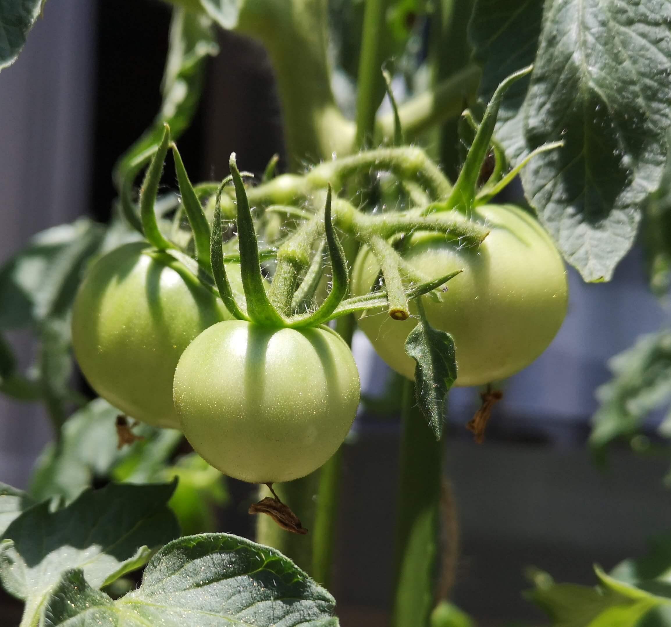 第一家房に実った3つのトマトがゴルフボールくらいに成長中