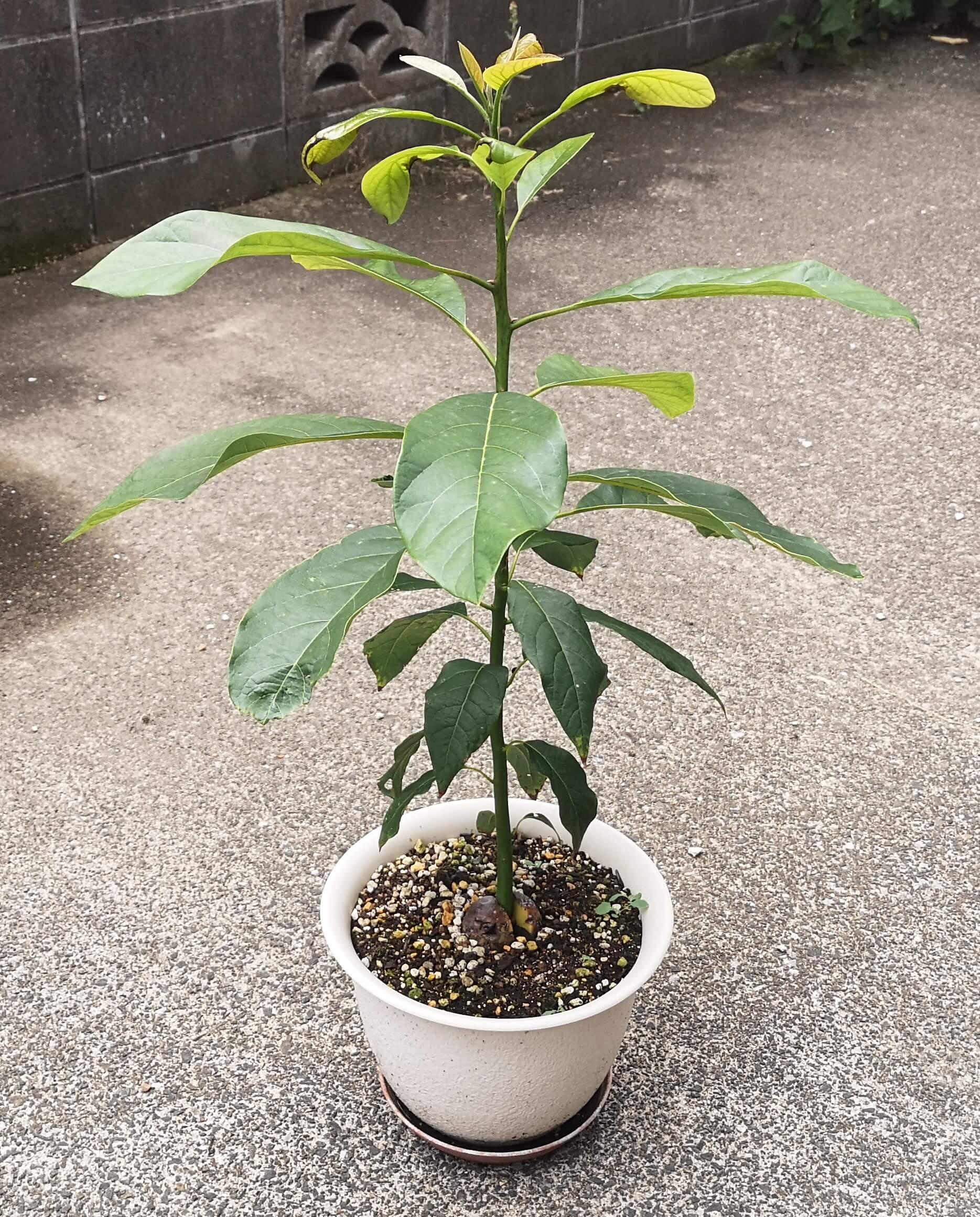 葉の大きさと主枝の長さがバランスよく成長している直植えアボカド