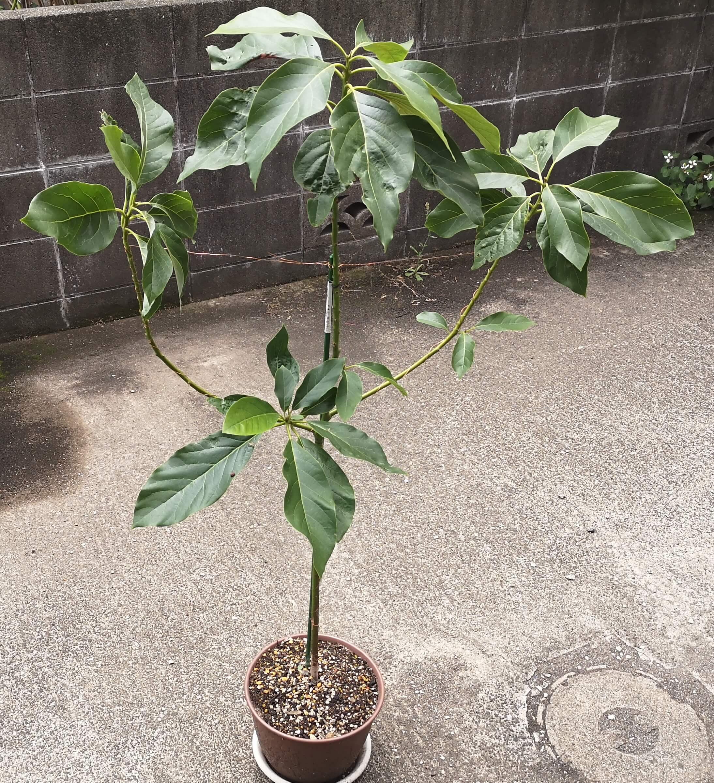 枝に針金を巻きつけて主枝で固定したアボカド