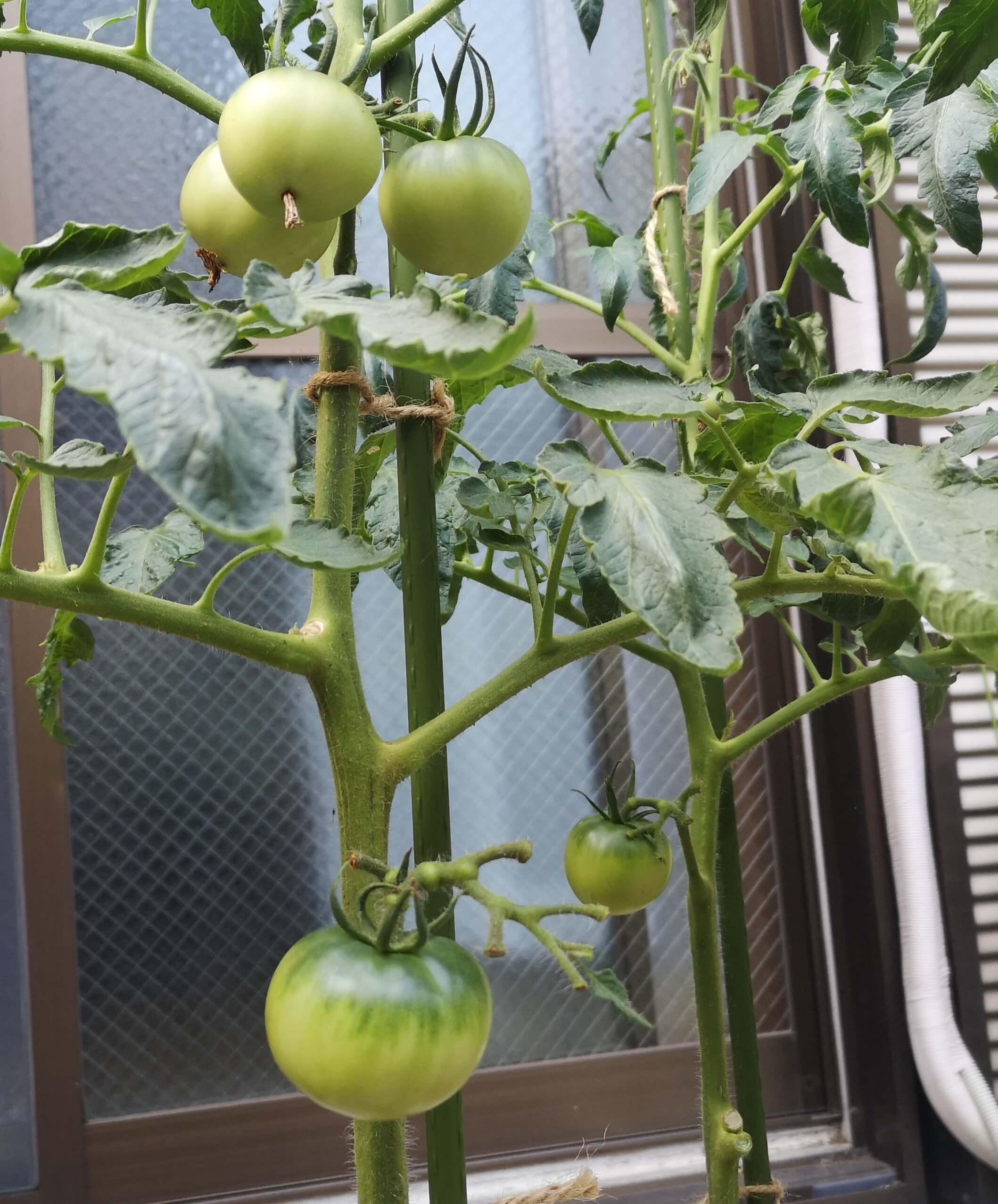 尻腐れ対策後は順調にトマトが実っている