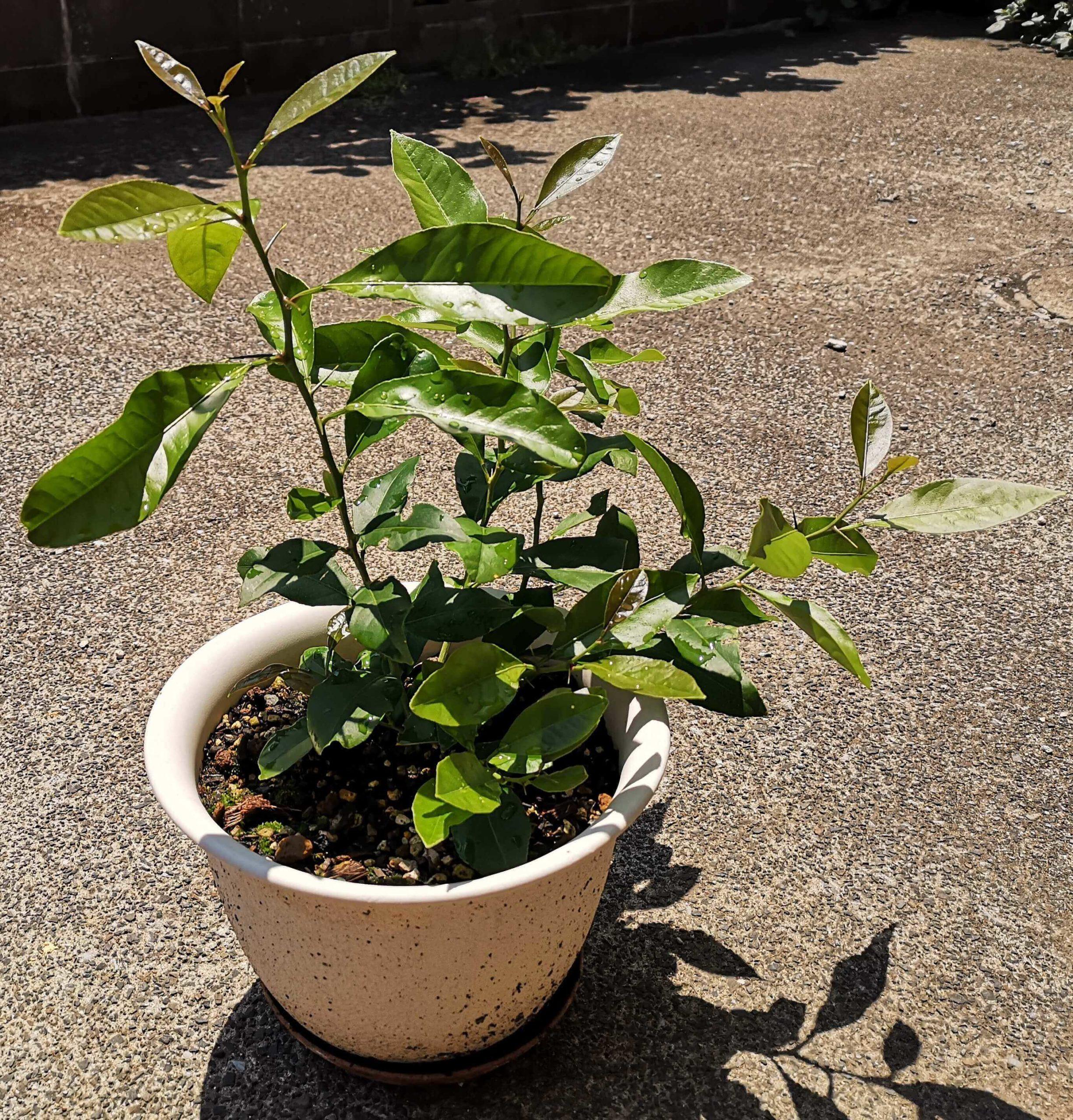 新芽を出した挿し木にして9ヶ月のレモン