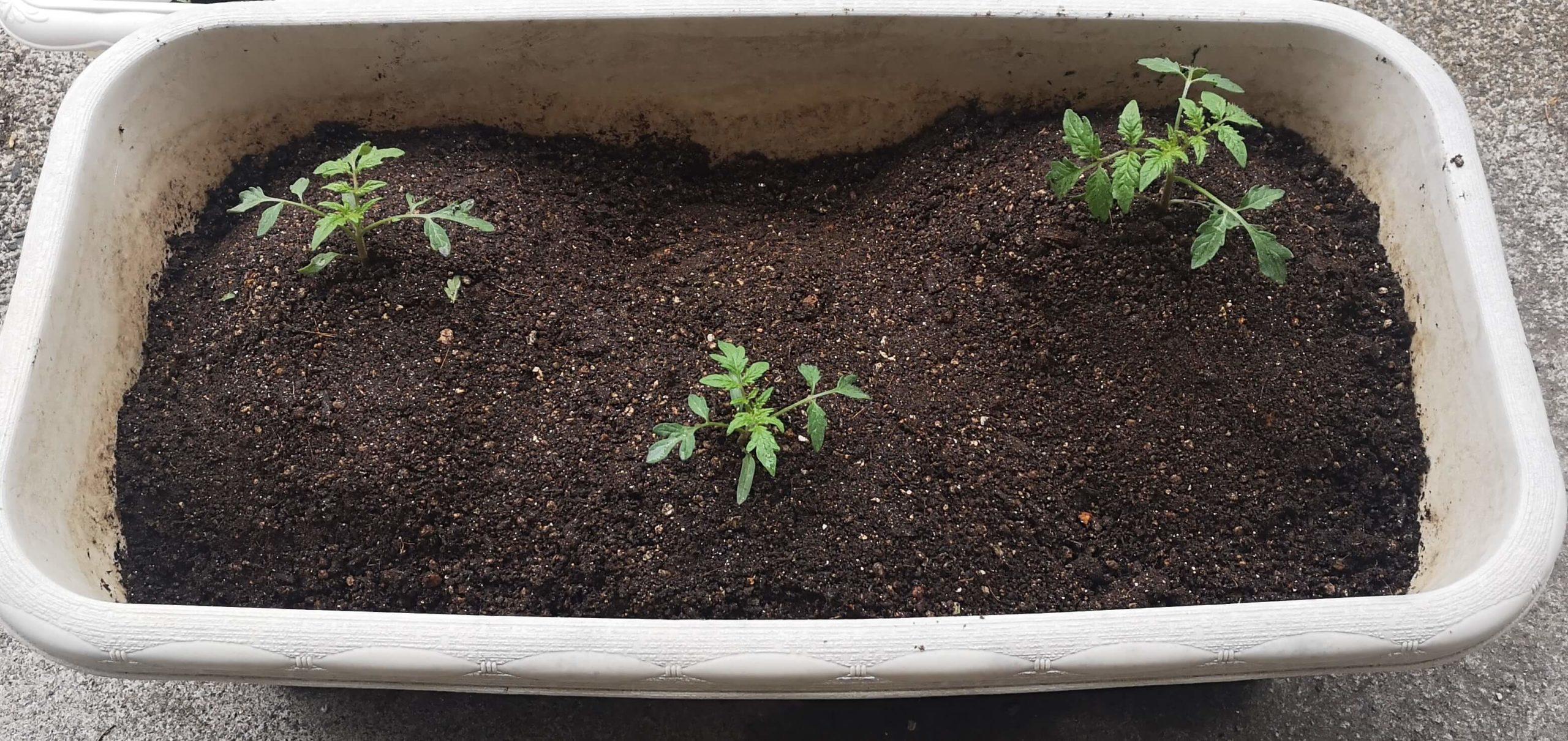 トマトの苗を土寄せしてジグザグに植えたプランター