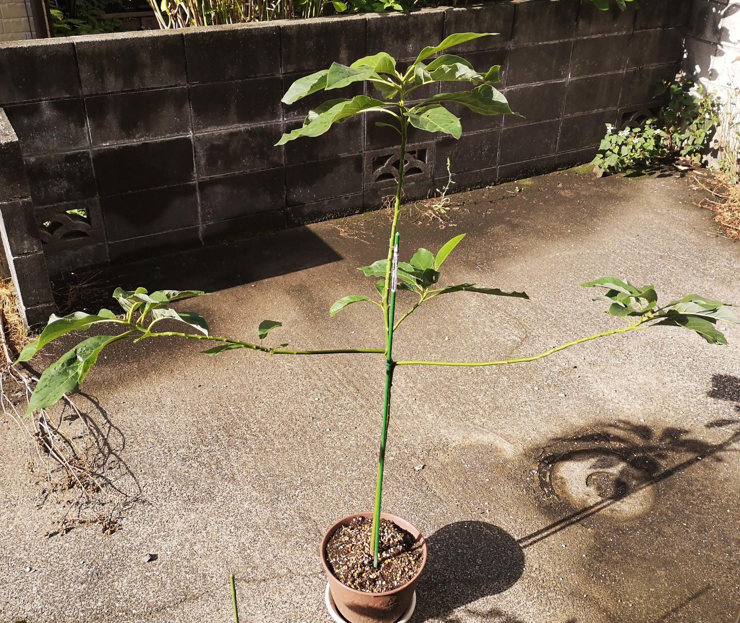 伸び続けた左右の枝は1メートルほどになったアボカド