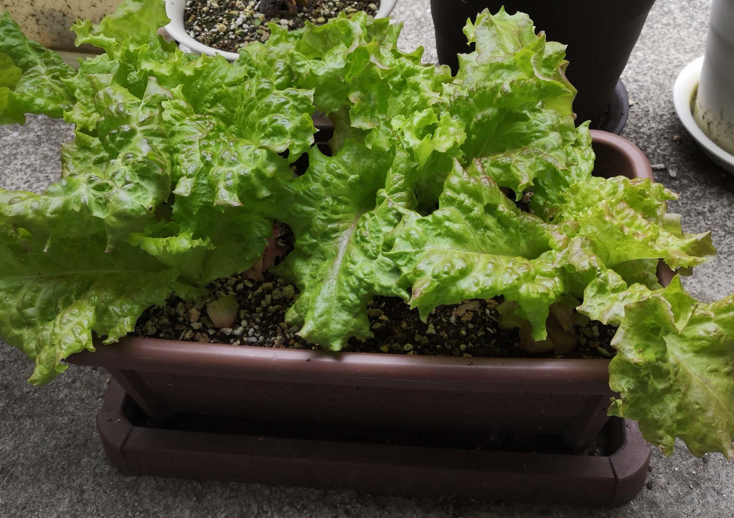 2回目の収穫ができるまで葉っぱが大きく成長しているサニーレタス