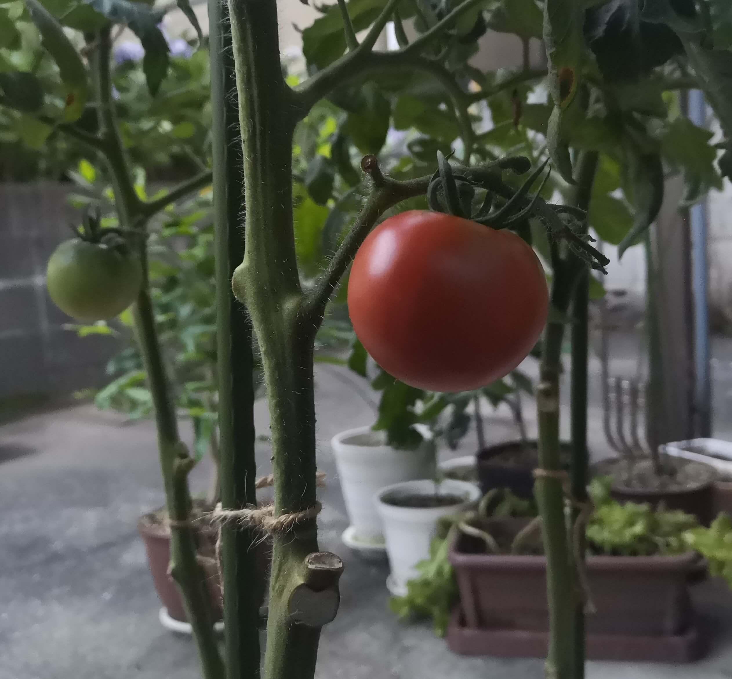 7月8日に初めてのトマトが真っ赤になった