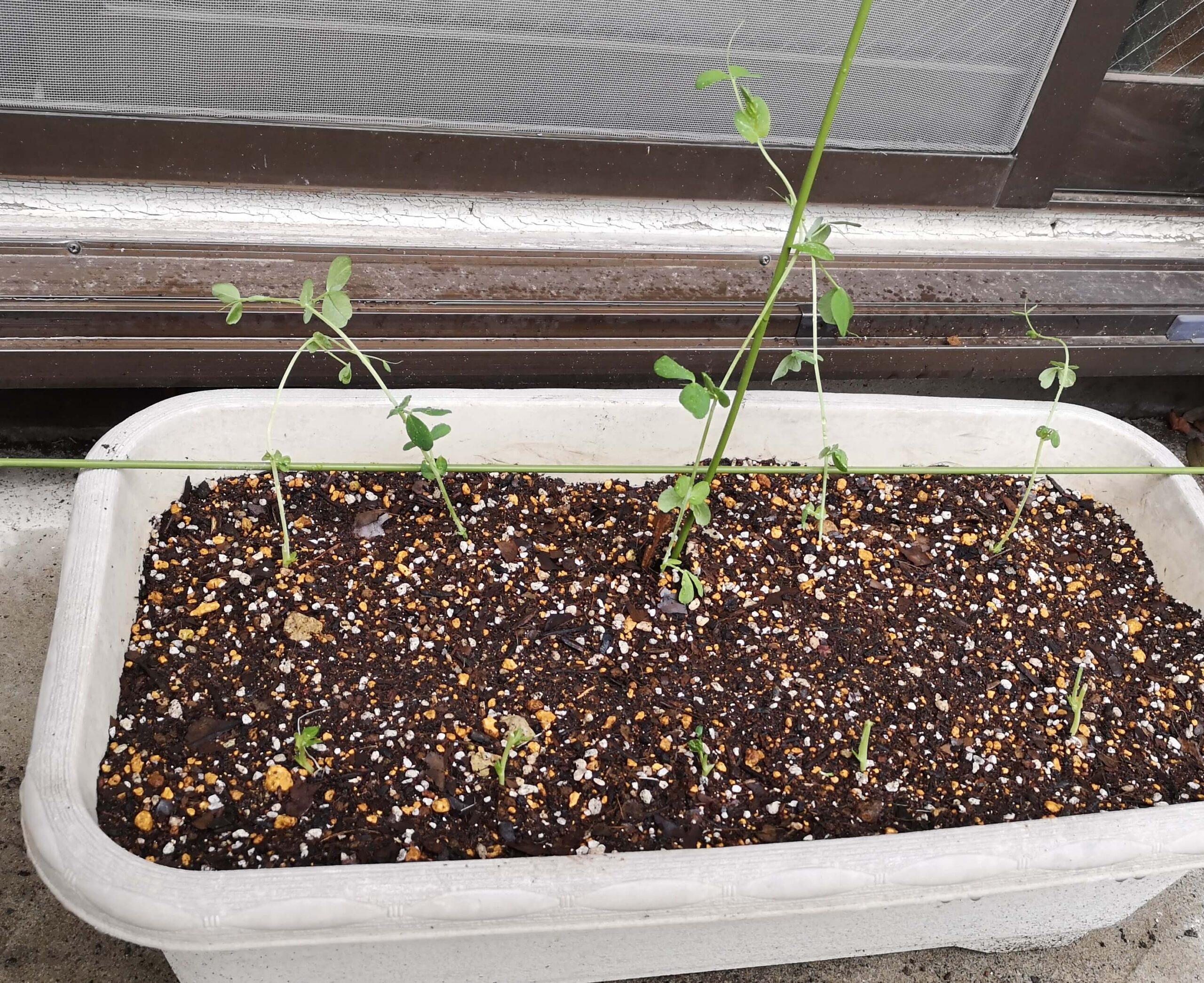 土へ植えた豆苗はそのままではぐったり外に垂れるため支柱を施す